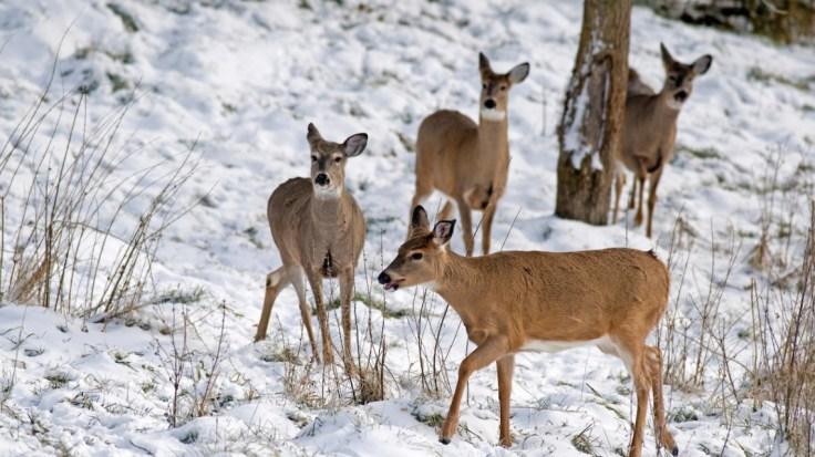 Deer-Winter